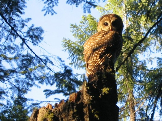 California Spotted Owl (photo by Dan Hansen)